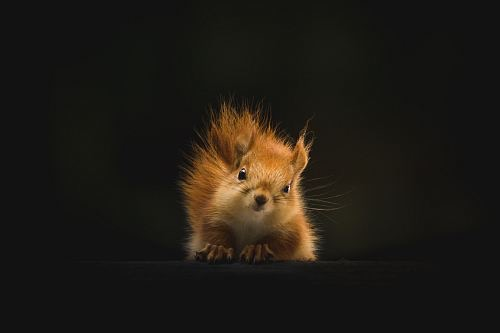 https://educfrance.org/wp-content/uploads/2020/03/brown-squirrel-on-black-background-wildlife-animal.jpg
