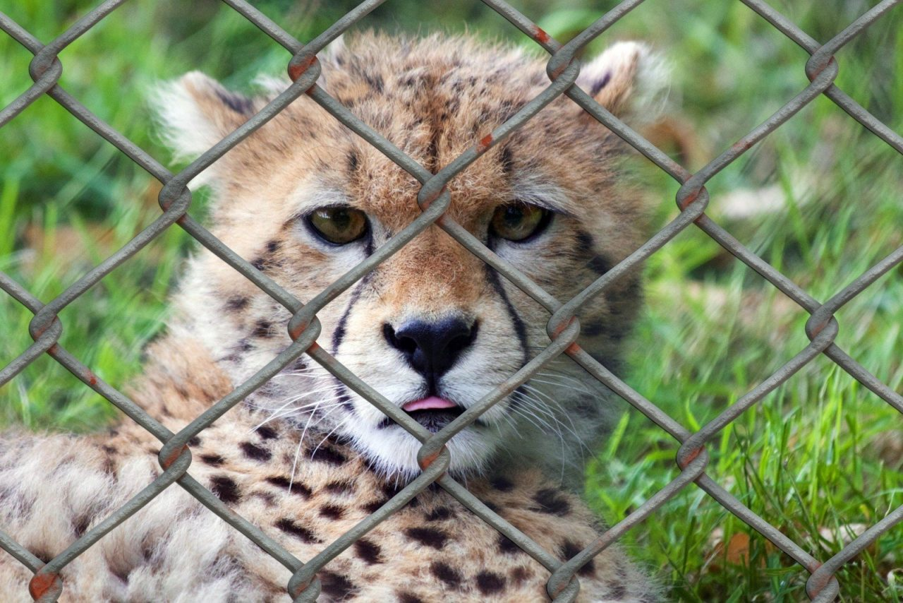 https://educfrance.org/wp-content/uploads/2020/05/cheetah-young-animal-predator-animal-world-fence-1280x854.jpg