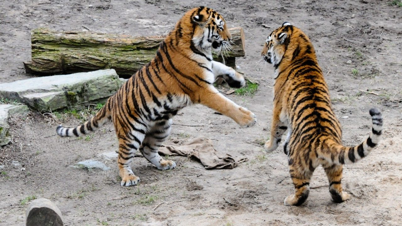 https://educfrance.org/wp-content/uploads/2020/05/tiger-zoo-cat-dangerous-predator-stripes-angry-1-1280x720.jpg