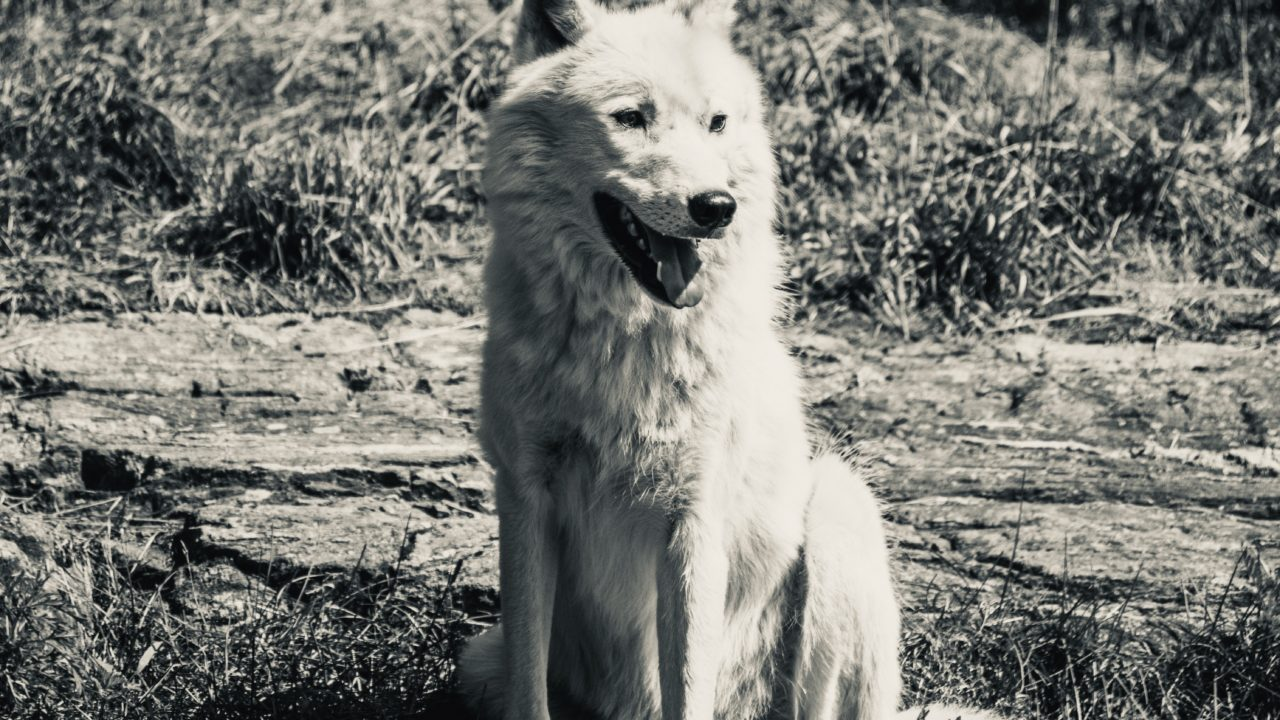 https://educfrance.org/wp-content/uploads/2020/05/white-wolf-in-the-wild-1-1280x720.jpg