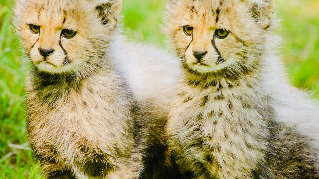 https://educfrance.org/wp-content/uploads/2020/06/2-yellow-and-black-cheetah-sitting-together-162318-1-1280x720.jpg