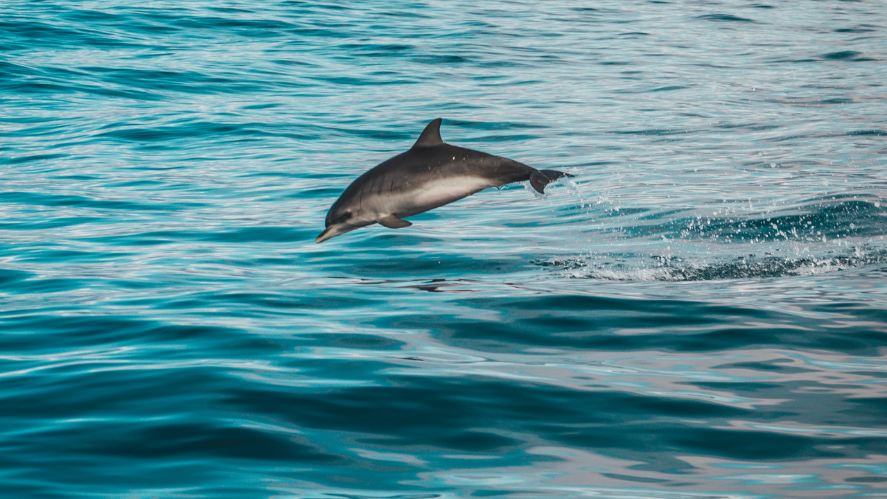 https://educfrance.org/wp-content/uploads/2020/07/DOLPHIN-1280x720.png