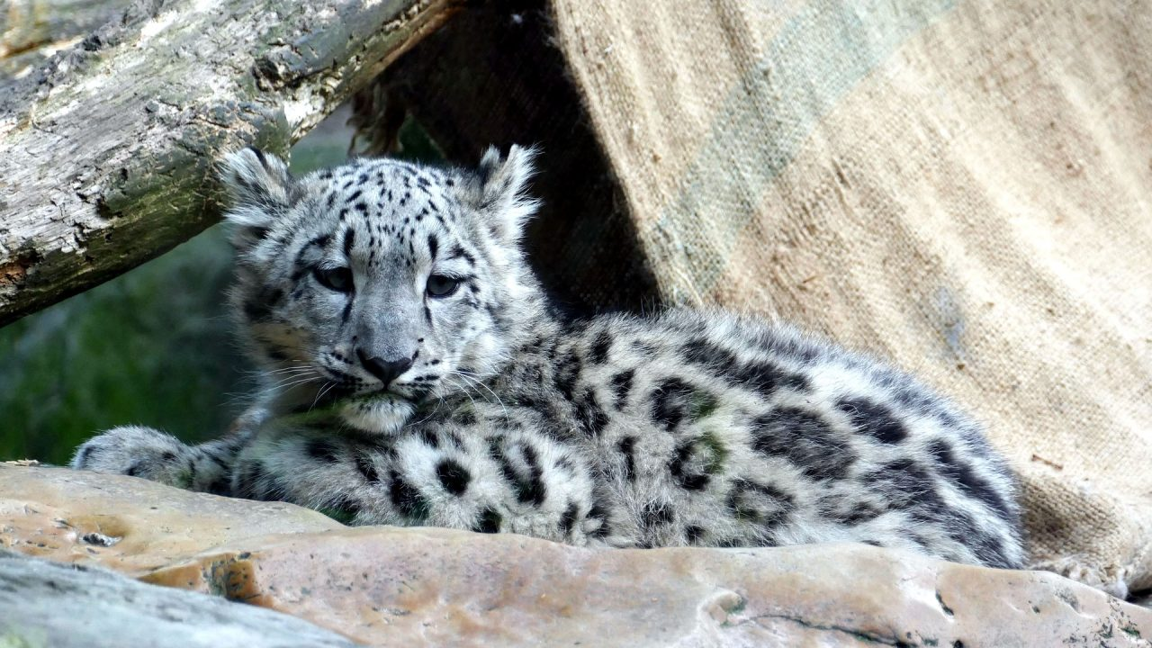 https://educfrance.org/wp-content/uploads/2021/02/snow-leopard-3499796_1920-1280x720.jpg