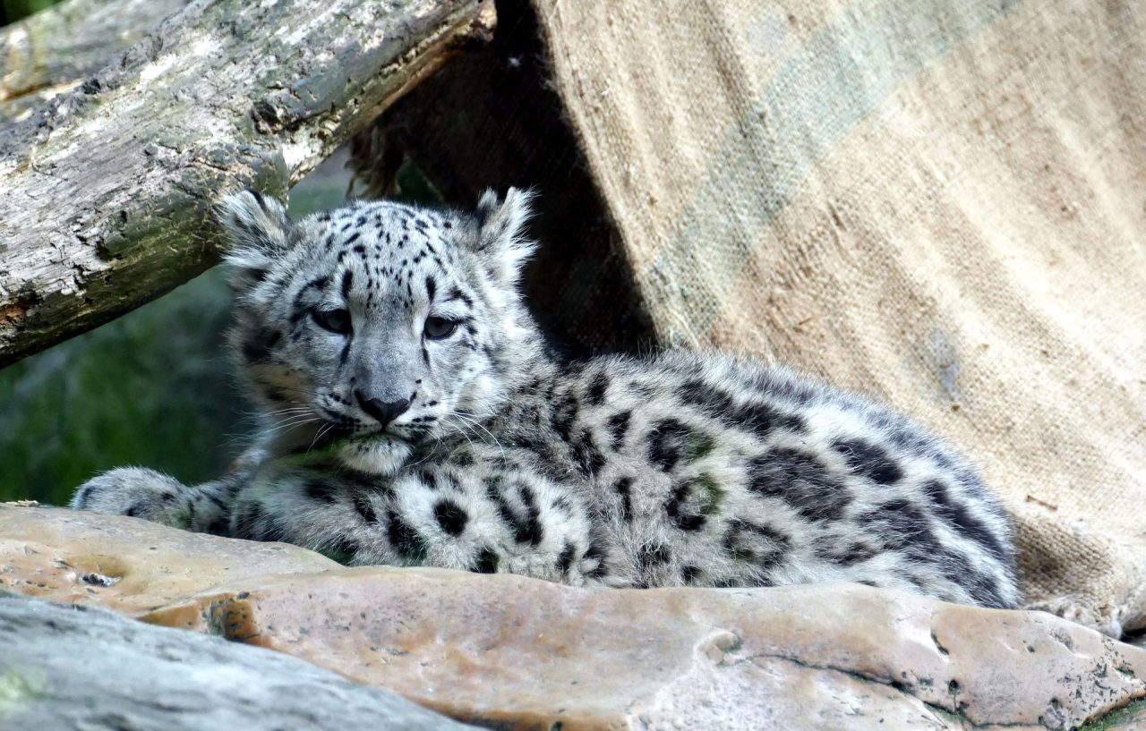 https://educfrance.org/wp-content/uploads/2021/02/snow-leopard-3499796_1920-1280x817.jpg