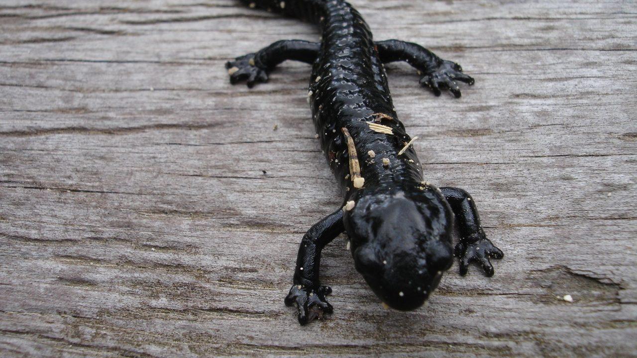 https://educfrance.org/wp-content/uploads/2021/04/salamander-4147_1920-1280x720.jpg
