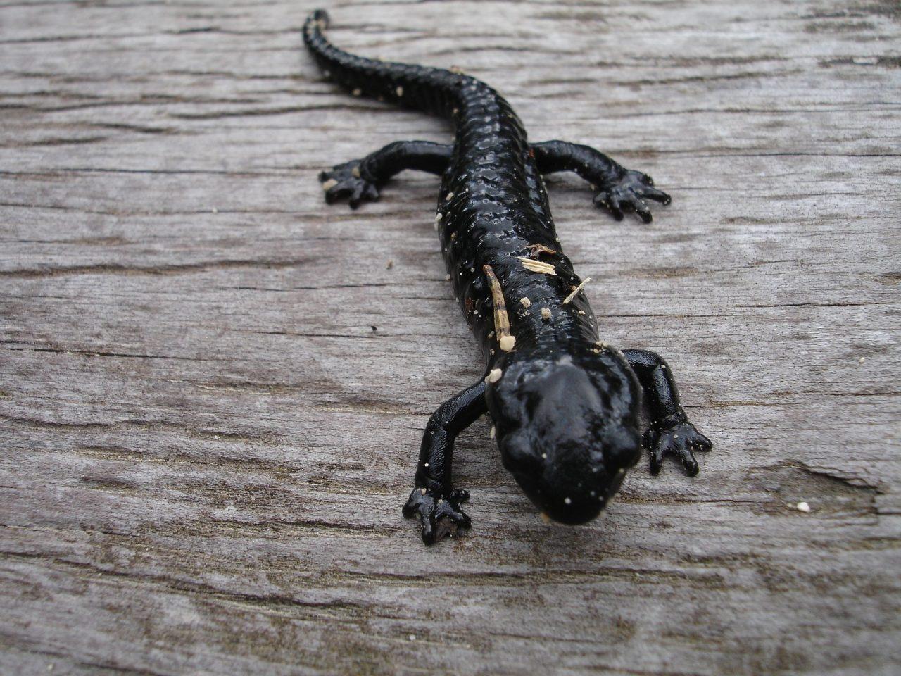 https://educfrance.org/wp-content/uploads/2021/04/salamander-4147_1920-1280x960.jpg