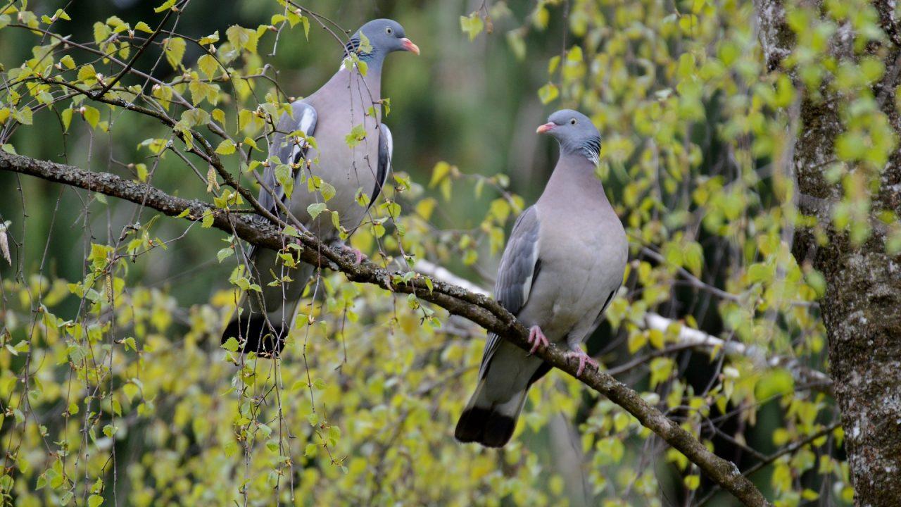 https://educfrance.org/wp-content/uploads/2021/05/pigeons-736246_1920-1280x720.jpg