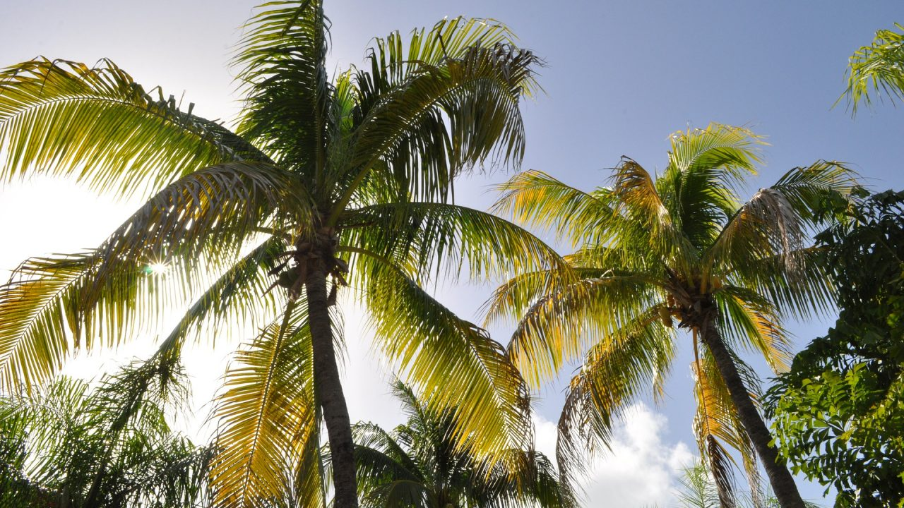 https://educfrance.org/wp-content/uploads/2021/06/coconut-trees-1172459_1920-1280x720.jpg