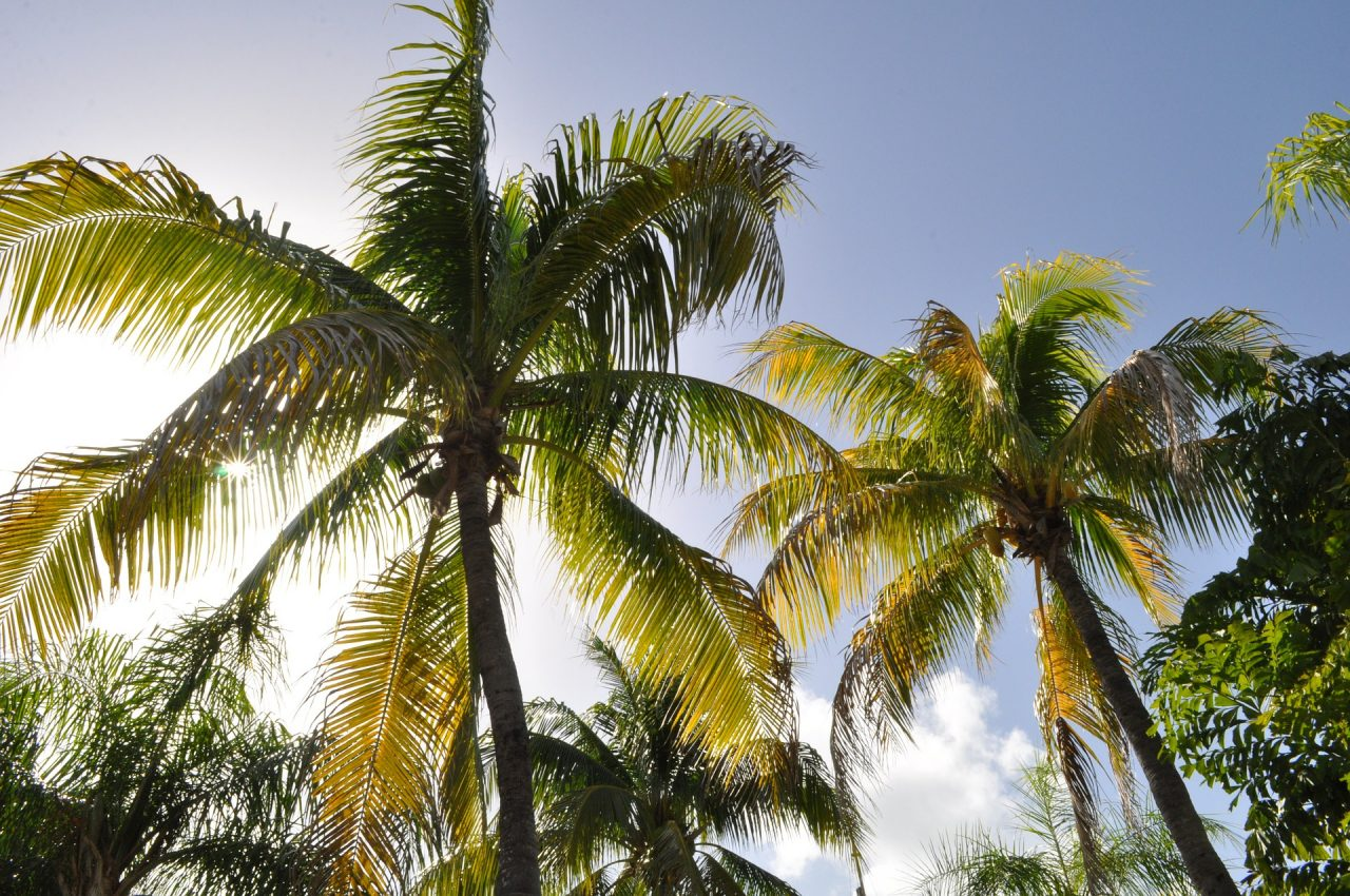 https://educfrance.org/wp-content/uploads/2021/06/coconut-trees-1172459_1920-1280x850.jpg